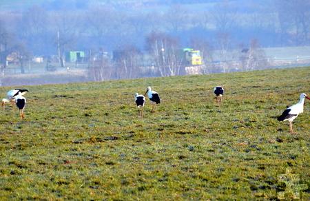 """Insgesamt sechs """"Adebars"""" setzten heute Morgen zur Zwischenlandung in Bleibuir (Stadt Mechernich, Nordeifel) an.  Foto: Manfred Lang/pp/Agentur ProfiPress"""