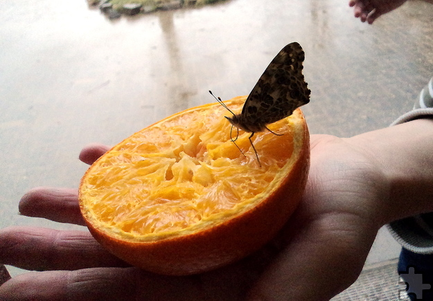 Bevor die Schmetterlinge in die Freiheit entlassen wurden, fütterten die Kinder sie einige Tage mit Obst und Zuckerwaser. Foto: Privat/pp/Agentur ProfiPress