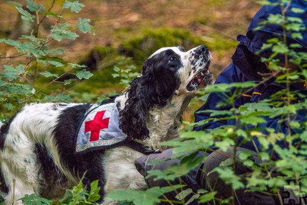 Sucheinsätze nach an Demenz erkrankten Vermissten nehmen zu. Die Kaller Rotkreuz-Rettungshundestaffel hält dafür speziell geschulte Suchhunde vor. Foto: Lüerssen/DRK/pp/Agentur ProfiPress