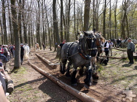 """Bei den Waldarbeiten der Veranstaltung """"Verrücktes Holz"""" am letzten Märzwochenende kommen auch Rückepferde zum Einsatz. Foto: LVR-FMK/pp/Agentur ProfiPress"""