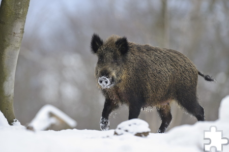 Selbst Überlebenskünstlern wie den Wildschweinen machen Schnee und Dauerfrost zu schaffen. Foto: Willi Rolfes/pp/Agentur ProfiPress