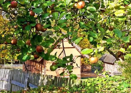 Überall im LVR-Freilichtmuseum Kommern kann man traditionelle heimische Apfelsorten entdecken. Foto: Ute Herborg/LVR/pp/Agentur ProfiPress