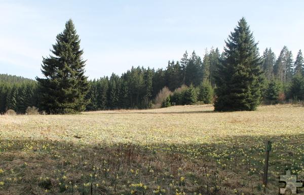 Noch bis Anfang Mai überziehen wildwachsende Narzissen die Wiesen im Oleftal wie ein gelber Blütenteppich. Foto: Gemeinde Hellenthal/pp/Agentur ProfiPress